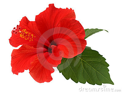A red hibiscus flower