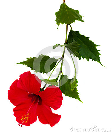 Free Red Hibiscus Flower Royalty Free Stock Photography - 25804657