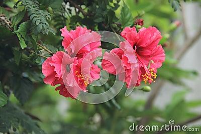Red Hibiscus Flowers Free Public Domain Cc0 Image