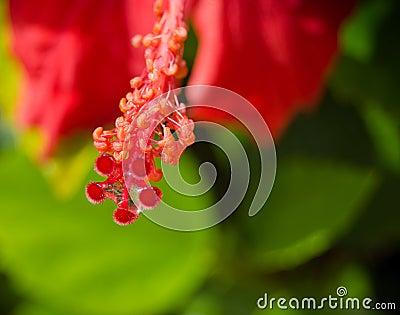 Red hibiscus flowers in bloom