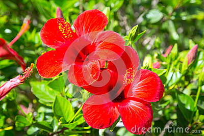 Red Hibiscus flowers in the tropical garden