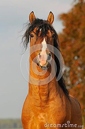 Red horse stallion portrait in autumn