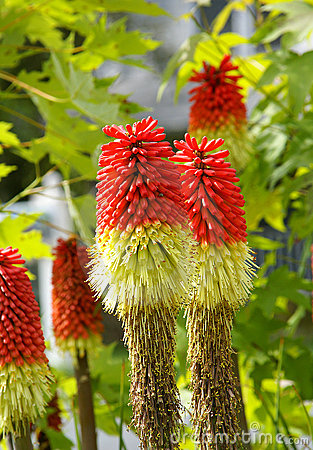 Free Red Hot Poker Royalty Free Stock Image - 16613296