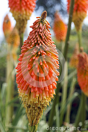 Free Red Hot Poker Stock Photo - 28953850