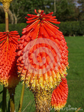 Free Red Hot Poker Royalty Free Stock Image - 48555016