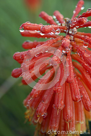 Free Red Hot Poker After Rain Stock Image - 28953851