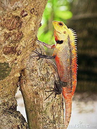 Free Red Iguana On A Tree Royalty Free Stock Photo - 19946355