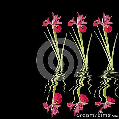 Red Iris Beauty