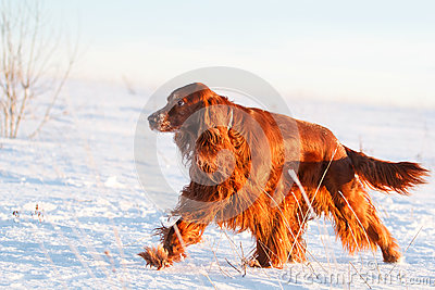 Red irish setter