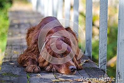 Red irish setter dog