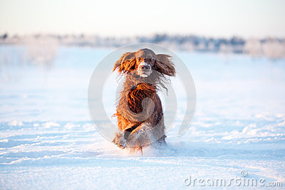 Red irish setter dog
