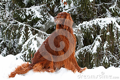 Red irish setter dog in forest
