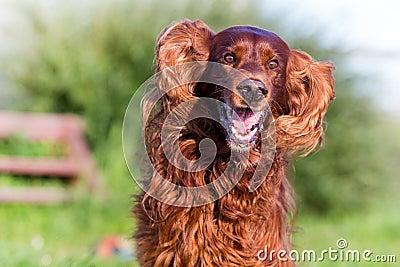 Red irish setter dog fun