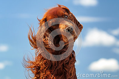 Red irish setter dog turn head