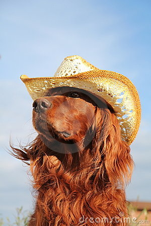 Red irish setter in hat