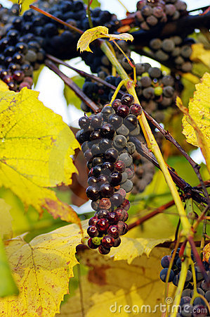 Red juicy grapes