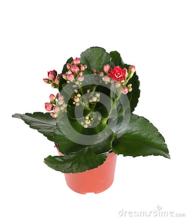 Free Red Kalanchoe Plant Royalty Free Stock Photo - 29242695
