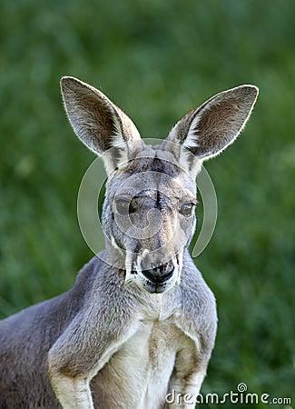 Free Red Kangaroo Stock Photo - 27022200