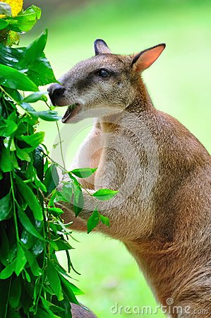 Red kangaroo enjoying its food