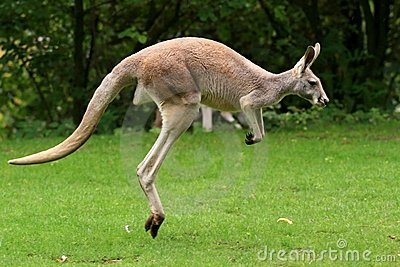 Red Kangaroo Jumping