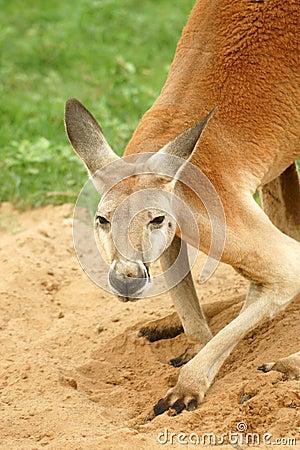 Red Kangaroo looking at camera