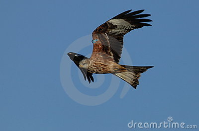 Red kite bird.