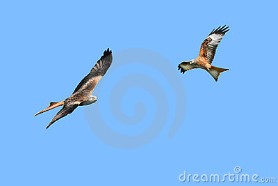 Red Kite Eagles