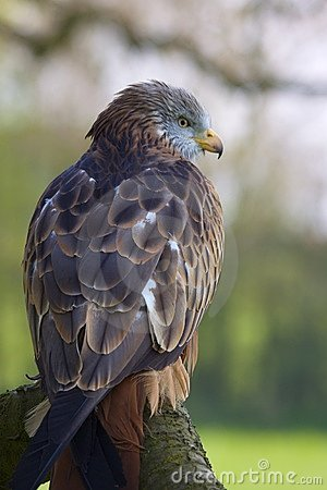 Red Kite Portrait On Branch