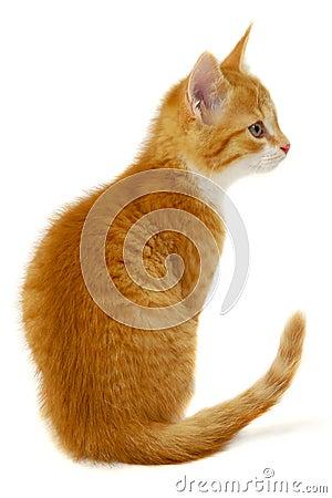Free Red Kitten Stock Photos - 13083033
