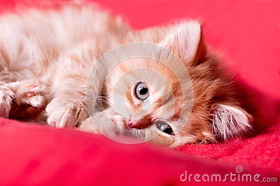 Red kitten lays on a red bedspread