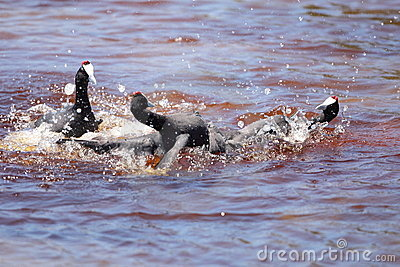 Red knobbed Coots