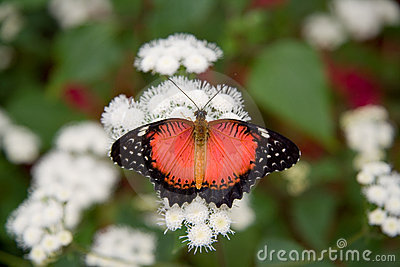 Red Lacewing Butterfly