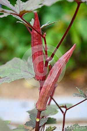 Red Lady Finger Plants