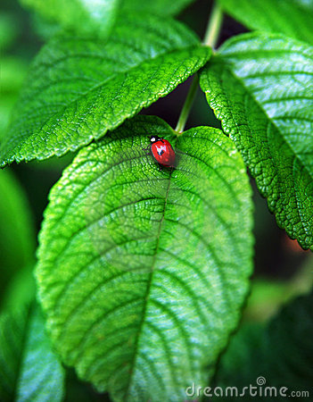 Red ladybird on a leaf