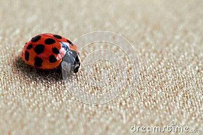 Red Ladybug or Ladybird