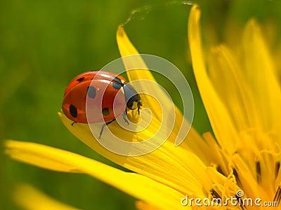 Red ladybug on yellow flower