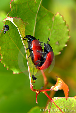 Free Red Leaf Beetles Reproduction Royalty Free Stock Images - 11166319