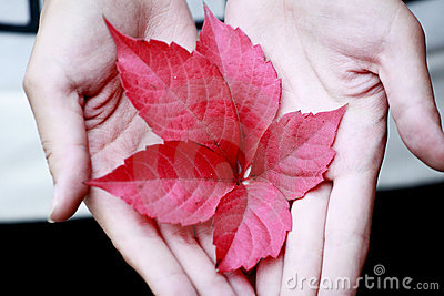 Red leaf in hands