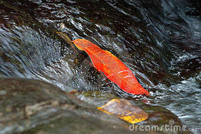 Red leaf in the rill