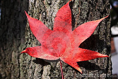 Red leaf on a trunk