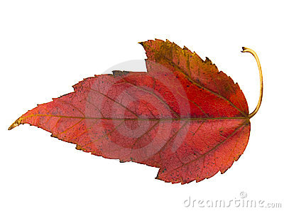 Red leaf of Virginia Creeper