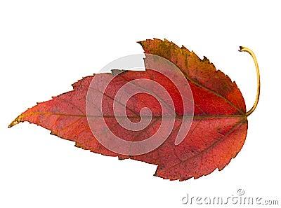 Red leaf of Virginia Creeper