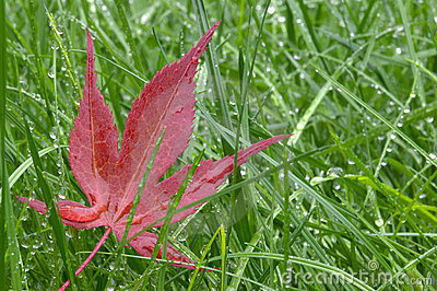 Red leaf and wet grass