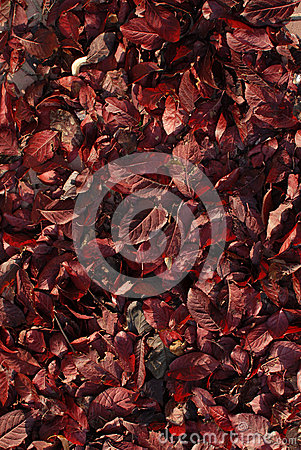 Red leaves texture