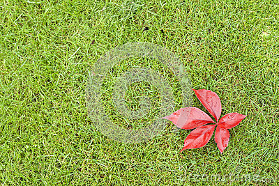 Red leaves on green grass