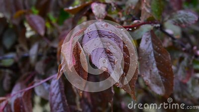 Red leaves plums. stock footage