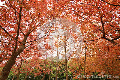Red Leaves and Trees