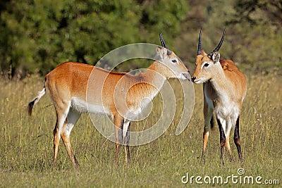 Red lechwe antelopes