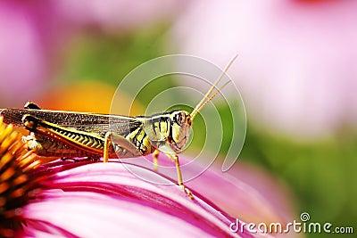 Red-legged grasshopper on pink flower