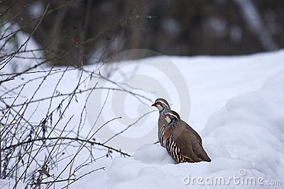 Red-legged Partridges (Alectoris rufa) in the snow